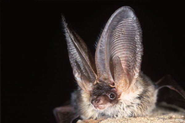Bats, Norfolk Wildlife Trust Cley Marshes, Coast Road, Cley, Norfolk, NR25 7SA | James Goldsmith leads this evening exploring the bats that live in the UK, how to identify different species, where they live, and discusses their conservation status. | Workshop, bats, walk, talk