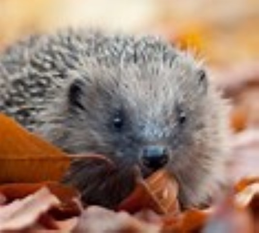 Norfolk's Hedgehogs - Family Event, Norfolk Wildlife Trust Cley Marshes, Coast Road, Cley, Norfolk, NR25 7SA | Meet the live hedgehogs which are in the care of Hedgehog Haven face to face. | animals, guide, nature, family