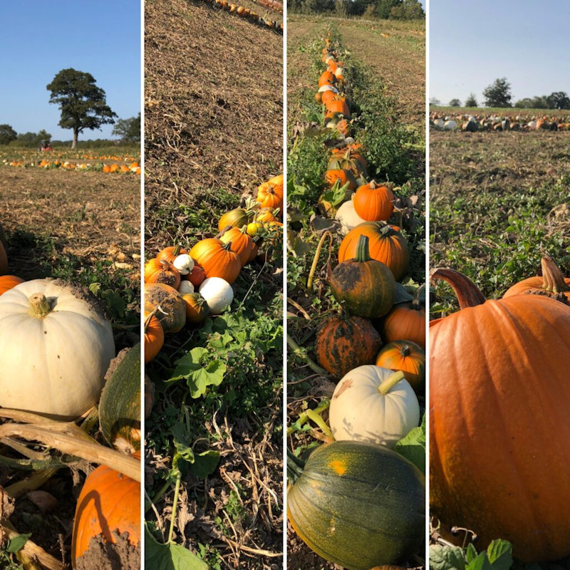 Pick Your Own Pumpkins | Pleased to say that the pumpkin crop is looking great at Algy�s farmshop this year. It�s the biggest ever. | Algy�s Farm Shop, Billingford Rd, Bintree, Norfolk, NR20 5PW