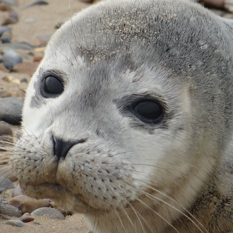Blakeney Seal Trip & Guided Tour of Blakeney | A Blakeney Seal Trip with Beans Boat Trips and a Guided Tour of Blakeney Point by National Trust wardens. | Beans Boat Trips, Morston, NR25 7BH