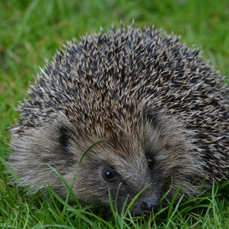 NWT Children's Wildlife Watch - Helping Hedge, NWT Hickling Broad Stubb Road Hickling NR12 0BW  | Family event | Hedgehogs, hibernation, mammals, Norfolk Broads