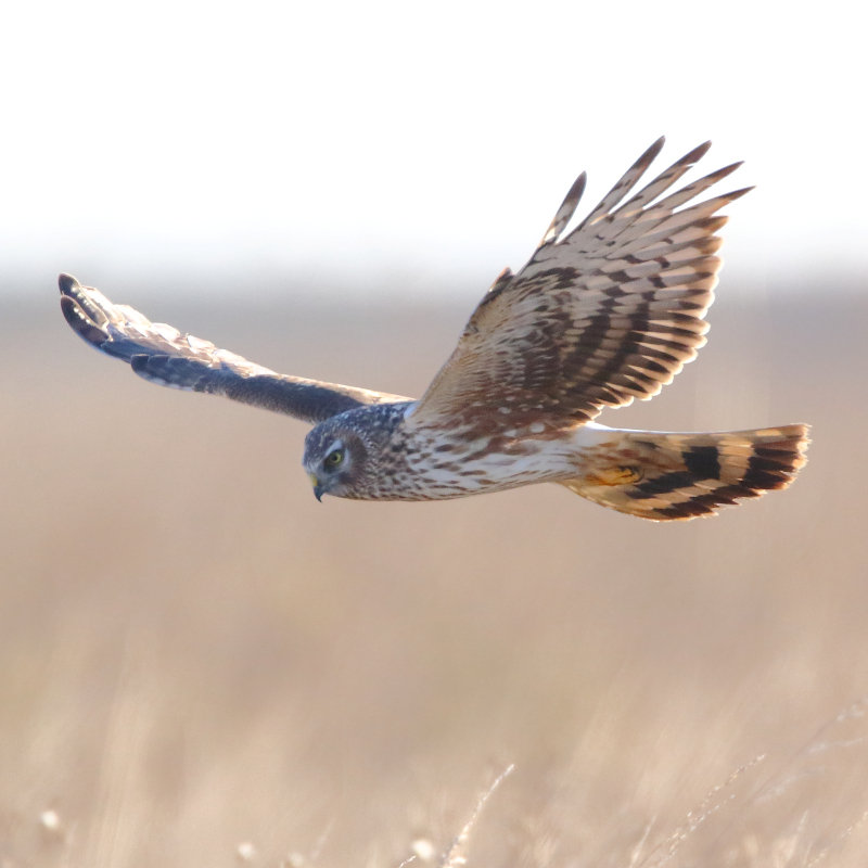 Harrier Watch, Titchwell Marsh | Watch up to 40 Marsh Harriers in the air all at once, come back to Titchwell Marsh to roost for the night. | RSPB, Titchwell, Marsh, Titchwell Marsh, Marsh Harrier, Bird watching, Dusk, Conservation, Nature, Wildlife
